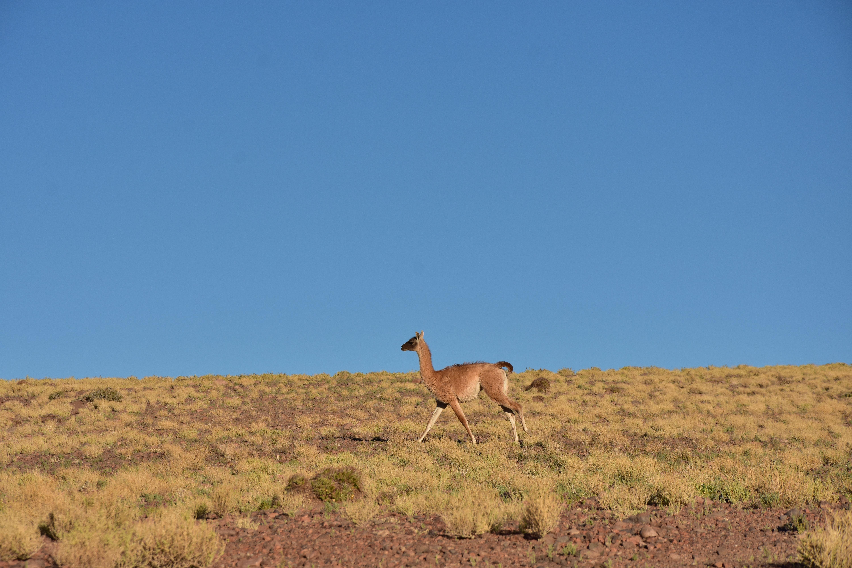 Guanaco llegando al valle arcoiris, Atacama, Chile