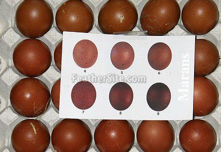 Marans Egg Colour Chart Photo Courtesy Of Susan Shaw Cooper