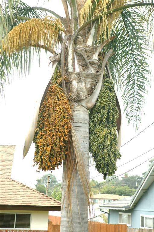 Queen Palm Tree Seeds Queen Palm Tree Palm Tree Fruit