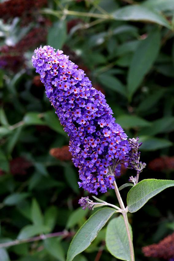 Pin On Flowering Bushes