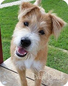 Mckinney Tx Border Terrier Mix Meet Rosie A Dog For Adoption