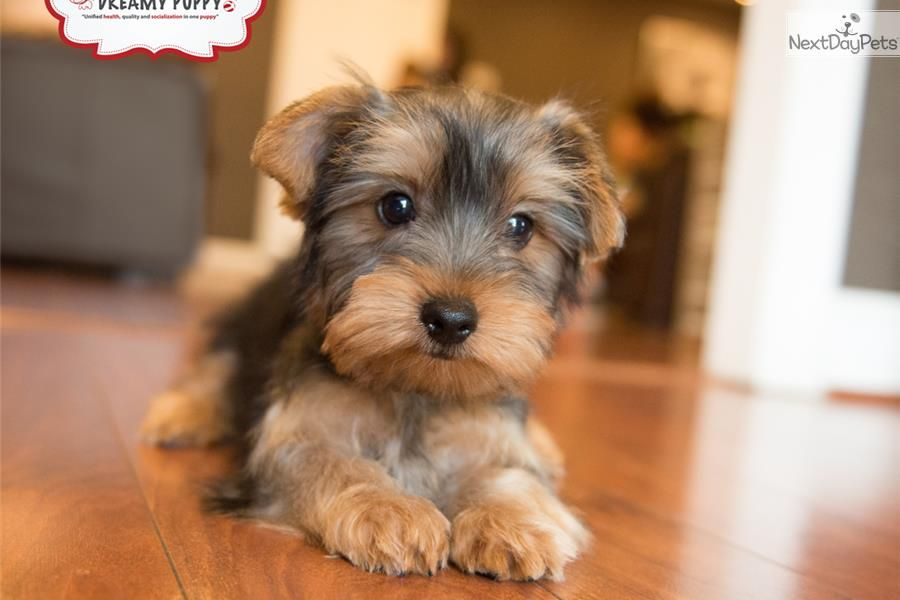 Yorkie Puppies For Sale In Dc References