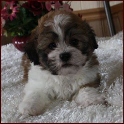 Shichon Puppy 4 Sale Cross Mixed Breed Puppies Mixed Breed