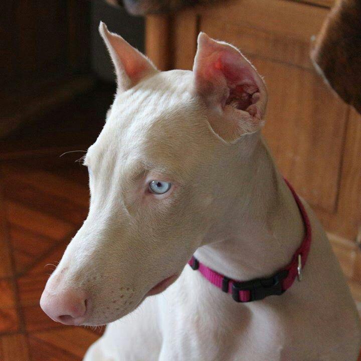 Albino Doberman Doberman Pinscher Doberman Puppy Doberman