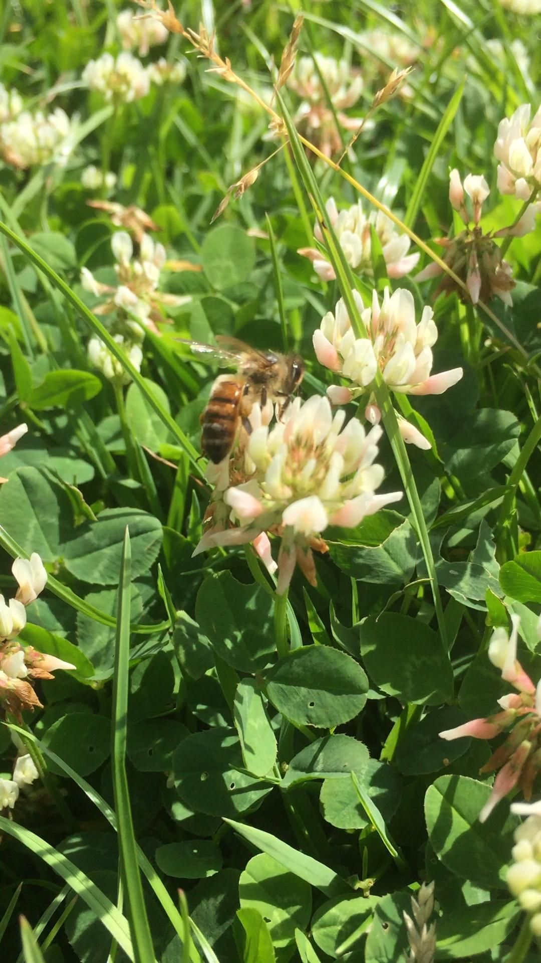 Photo of #clover #cloverleaf #honeybee #beekeeping #mothernature