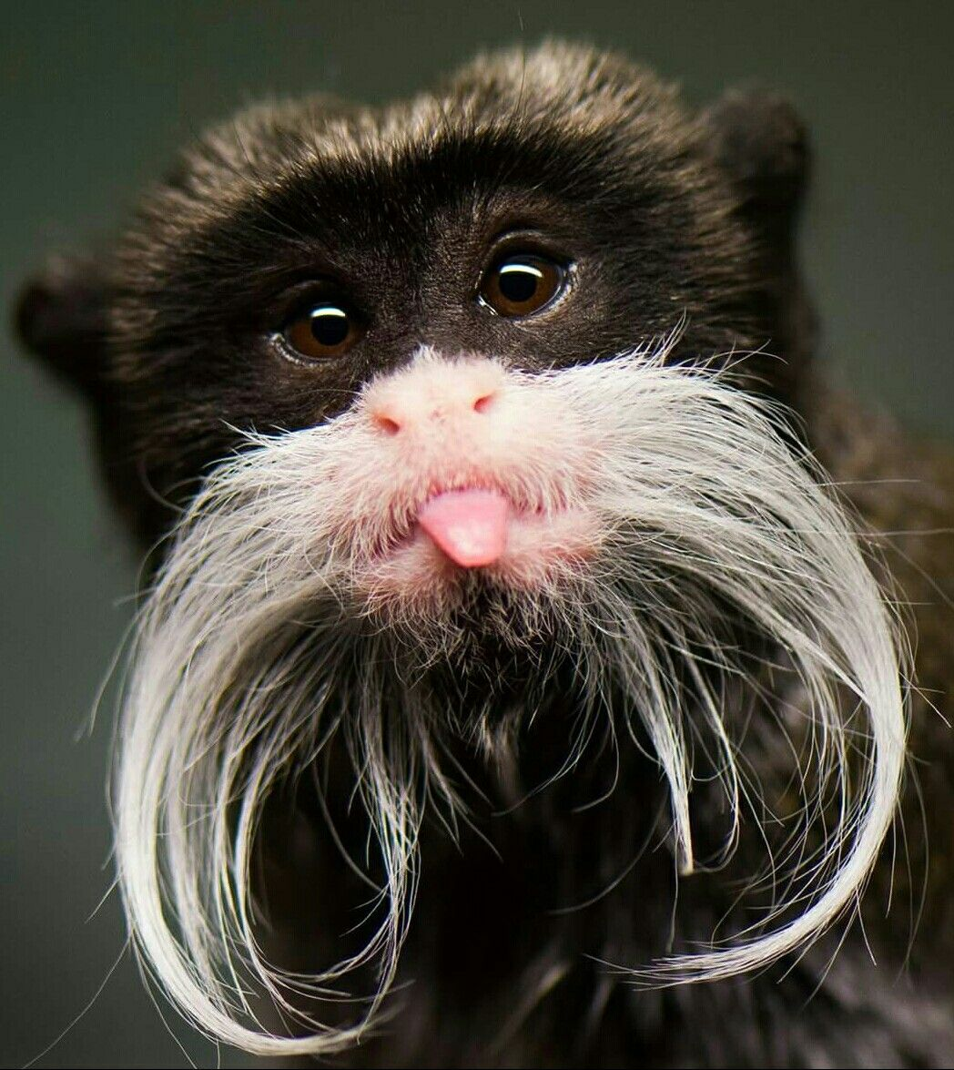 Handlebar mustaches ARE SO cool! | Nature animals, Cute ...