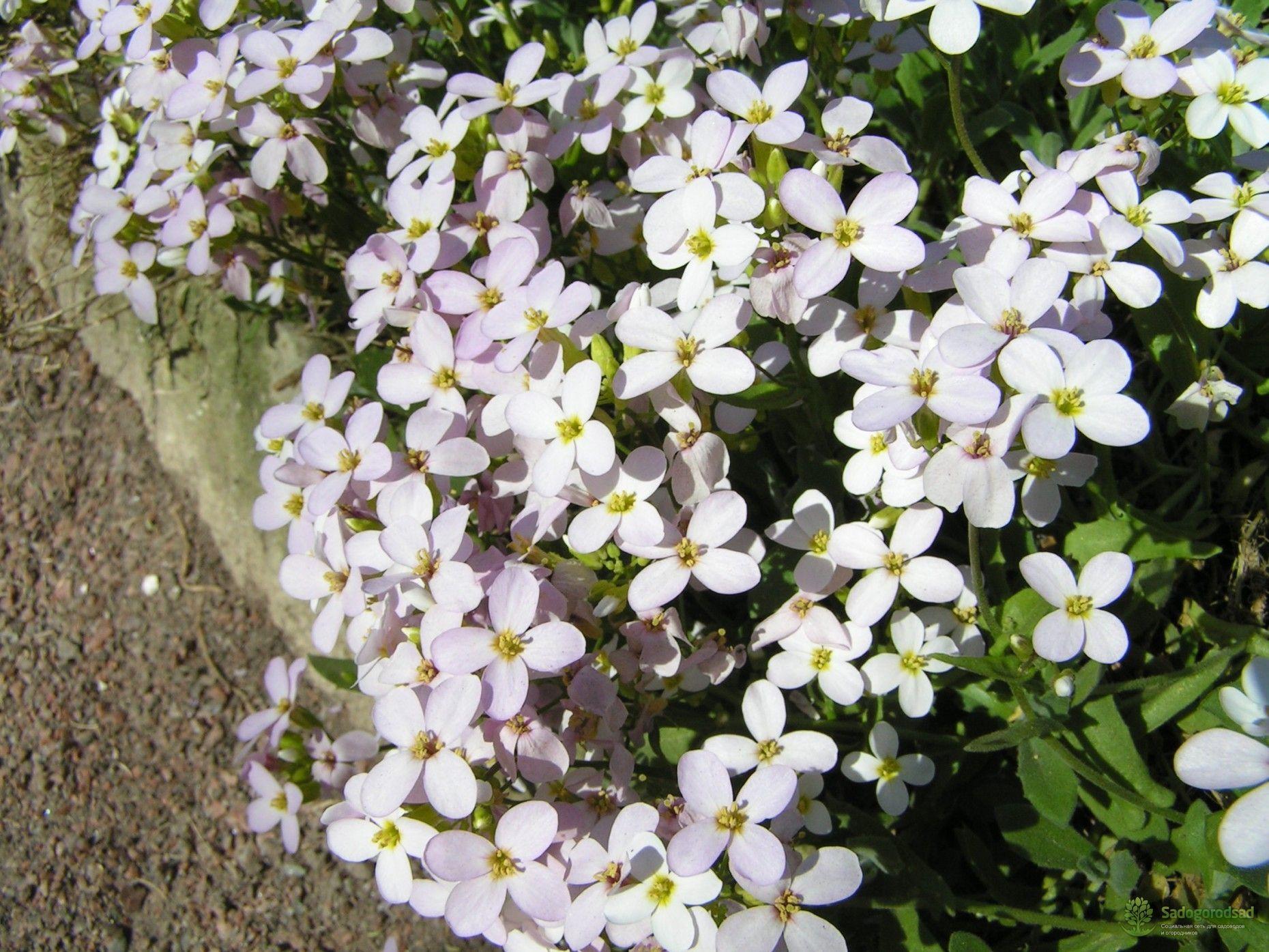 ТОП-23 Растения для Альпийской Горки | Растения, Садовые ...