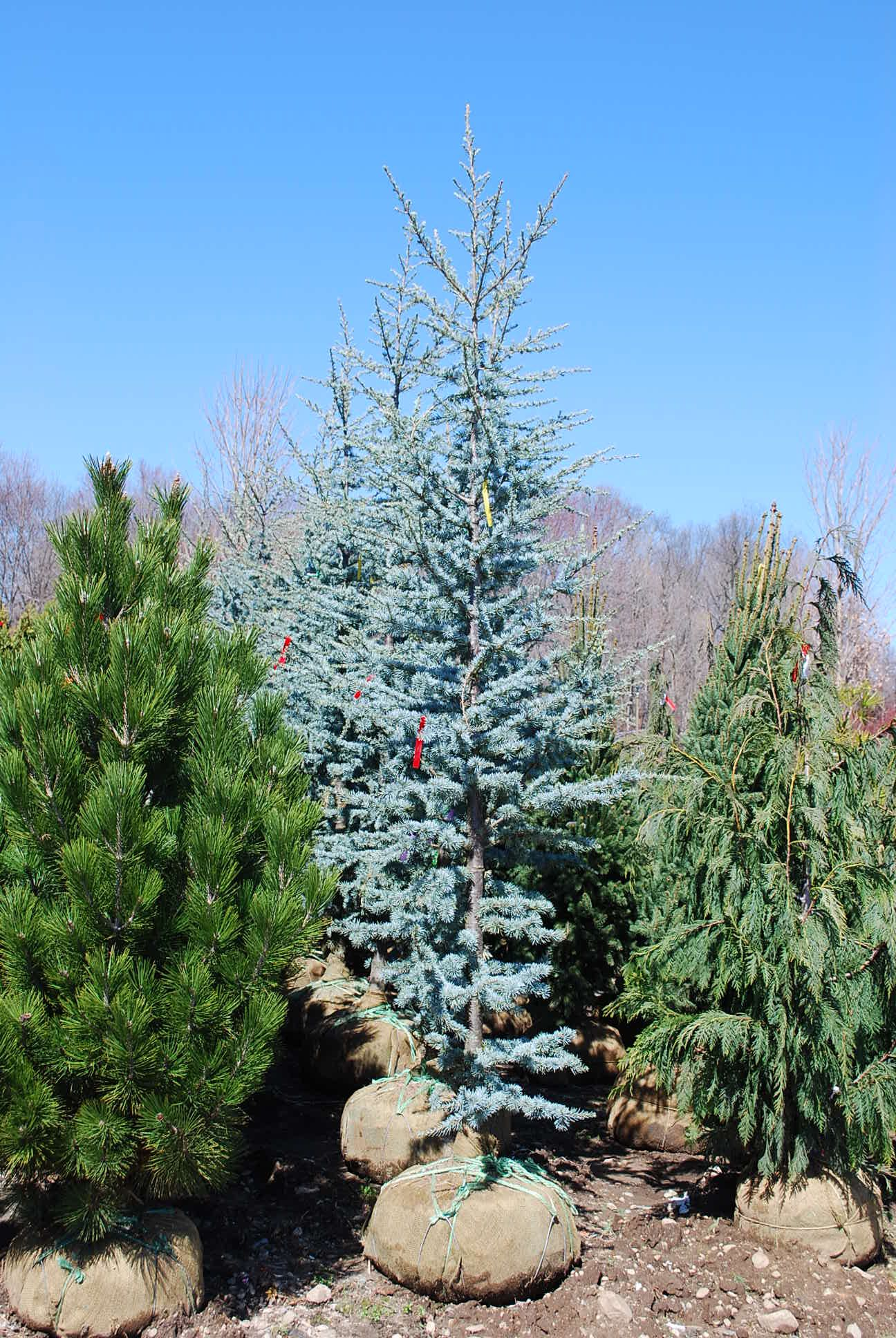 Dwarf Blue Atlas Cedar Google Search Trees To