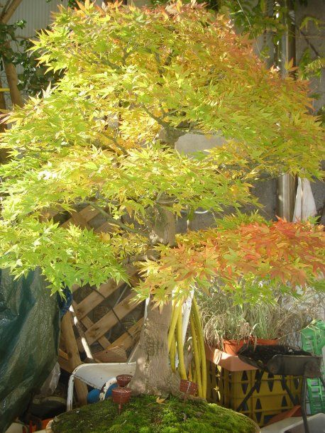Acer Palmatum Orange Dream Google Search Japanese Maples Acer