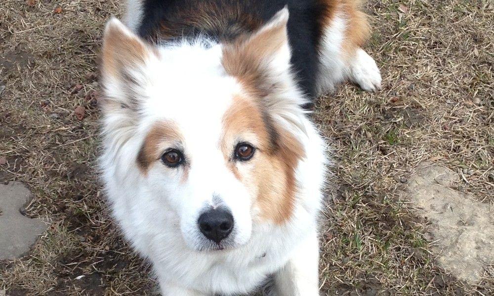 Mix Samoyed Puppies Adoption