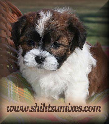 Cute Breed Non Shedding Smaller Teddy Bear Puppies Teddy Bear Dog Shichon Puppies