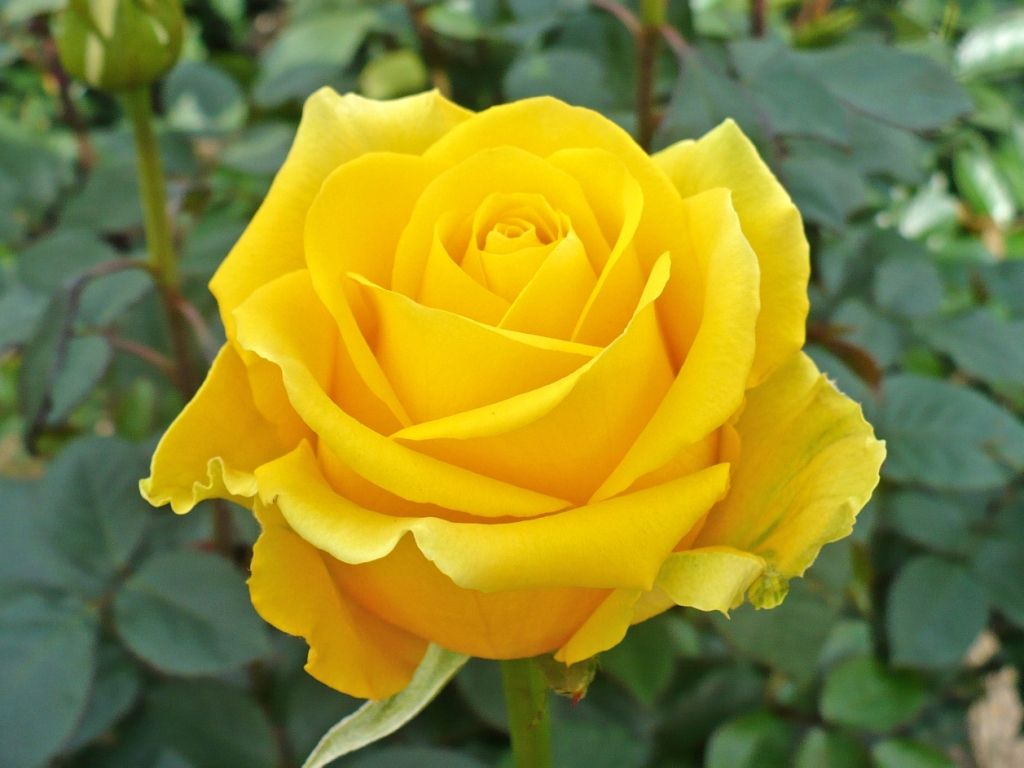 the single yellow rose like the one you took to dad when you met