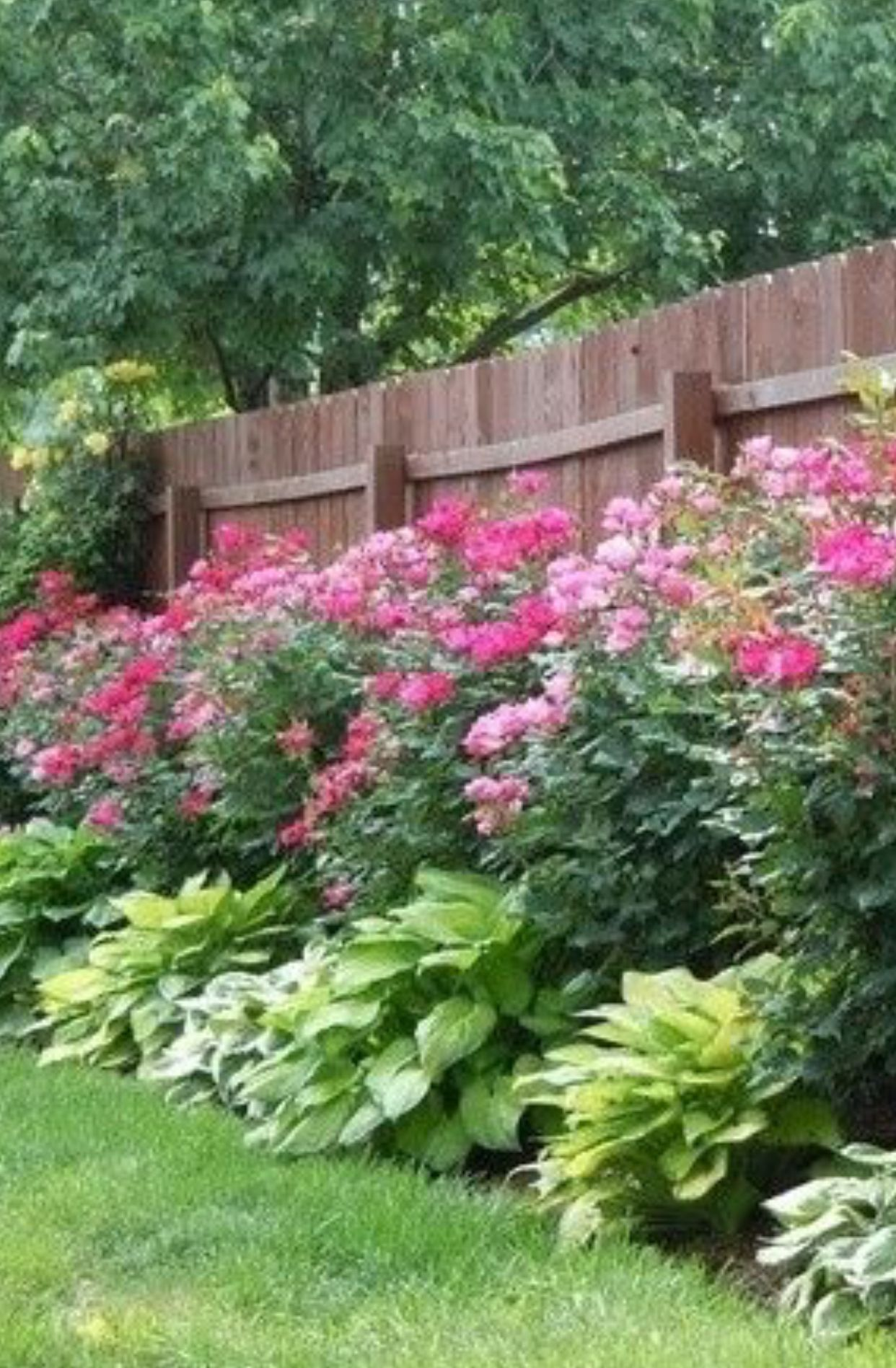 Knockout Roses And Hostas Garden Fence Border Row Extremely Simple Low Maintenance But Very