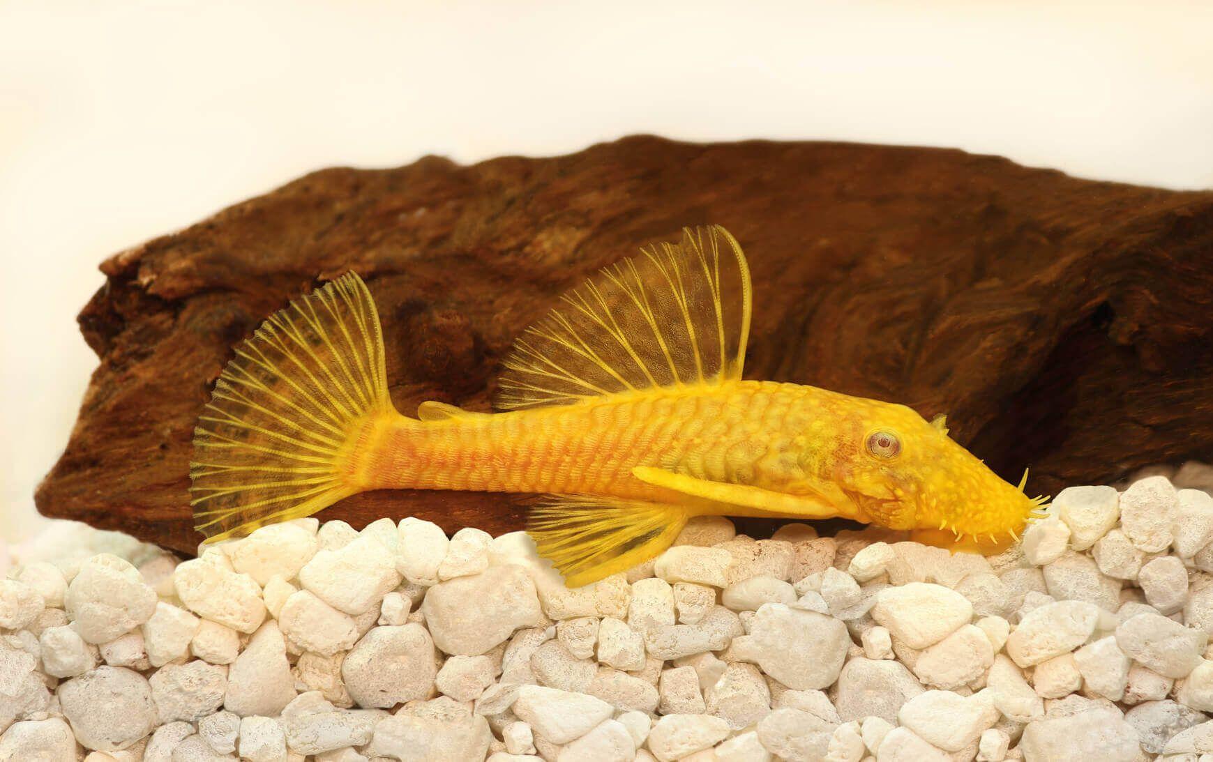 13 Must Have Algae Eaters For Your Aquarium Pleco Fish Saltwater Aquarium Fish Tropical Freshwater Fish