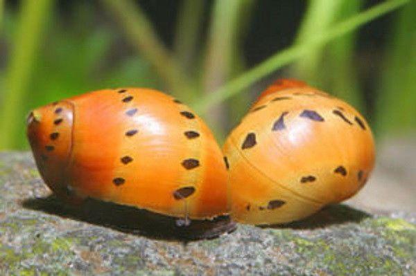10 Tiger Nerite Snails Live Freshwater Aquarium Snail Aquarium Snails Freshwater Aquarium Freshwater Aquarium Fish