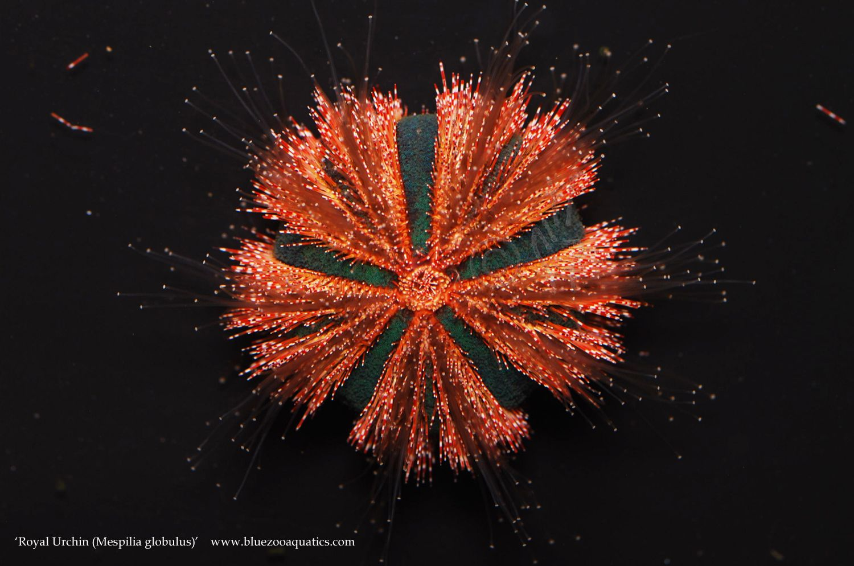 Collectors Choice Wysiwyg Item Red Royal Urchin Mespilia Globulus Urchin Royal Red