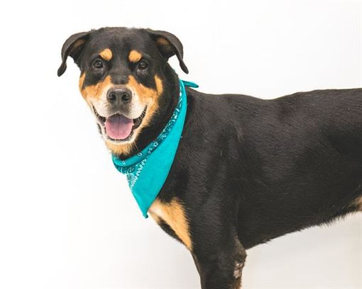 Orlando Fl Rottweiler Meet Bruce A Pet For Adoption Animals Pet Adoption Pets