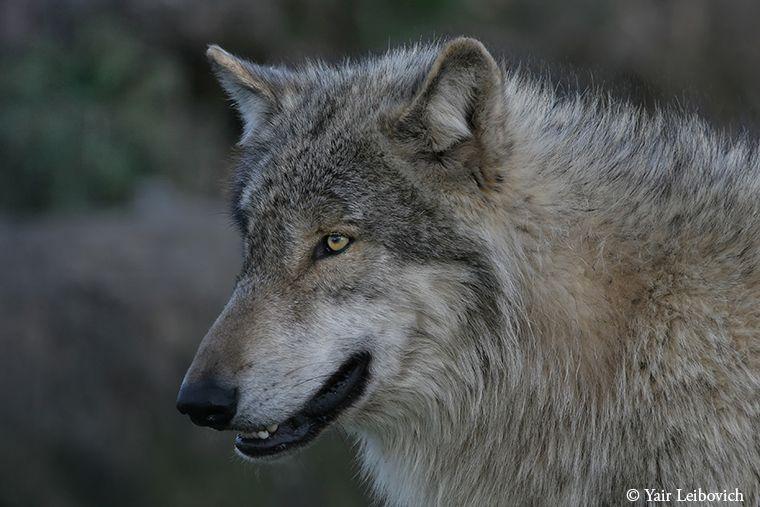 Grey Wolf portrait by ~Yair-Leibovich on deviantART