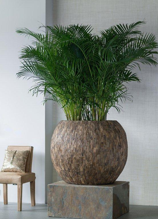 areca palm gef ssbepflanzungen im innenbereich pflanzgef e pflanzen und gr npflanzen. Black Bedroom Furniture Sets. Home Design Ideas