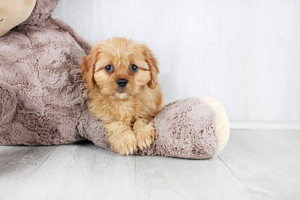 Puppies for sale Columbus, Ohio Sunrise Pups Small