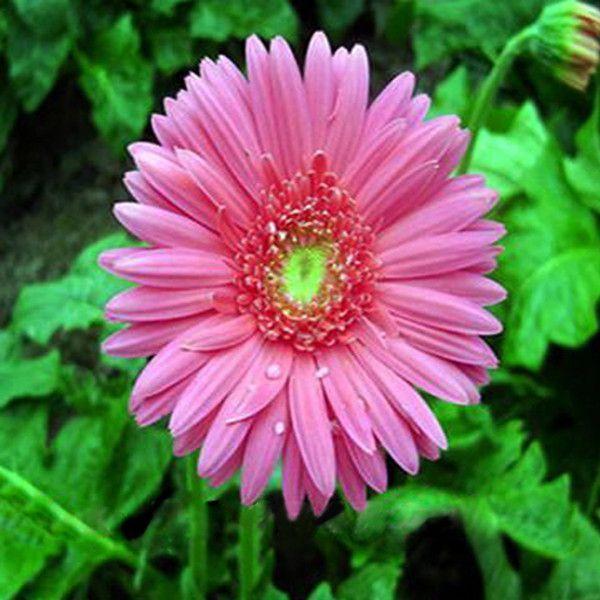 Rare Gerbera Seeds 10 Kinds 100 Mix Colors Flower Seeds High