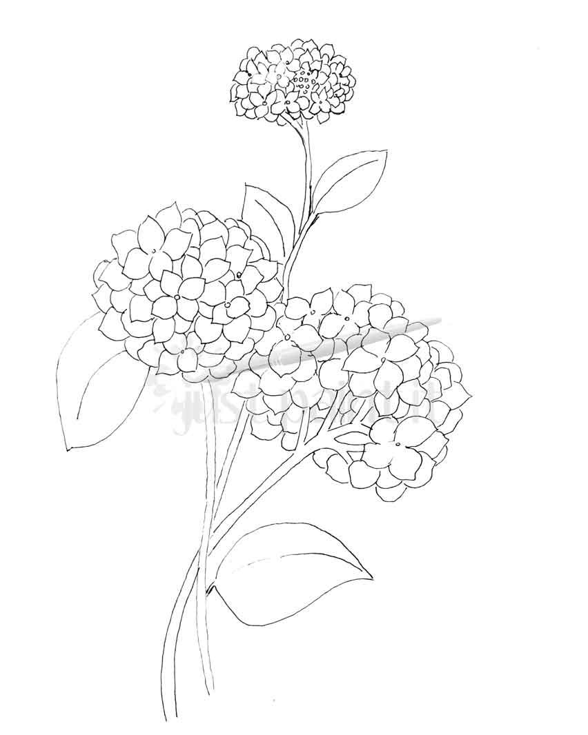 Hydrangea And Peonies Coloring Pages Flower Coloring Pages
