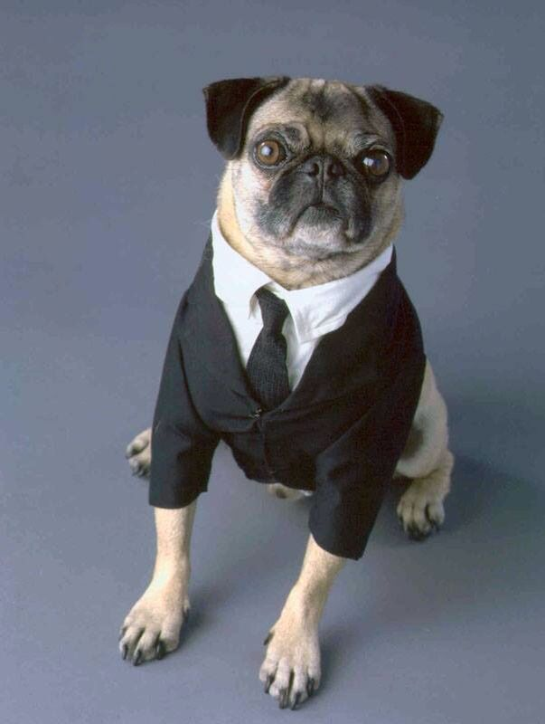 Pugs In Suits Pugs In Costume Pug Halloween Costumes