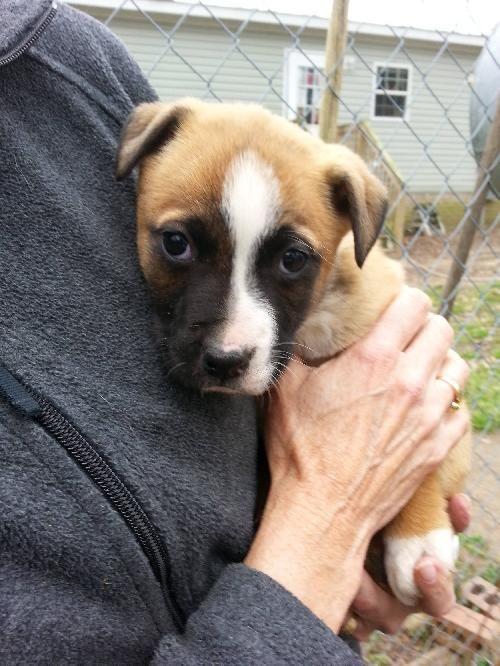 Adopt Otto on Boxer shepherd mix, Shepherd mix dog, Adoption