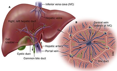 microscopic liver lobe segment - Google Search | 3 Human Anatomy and ...