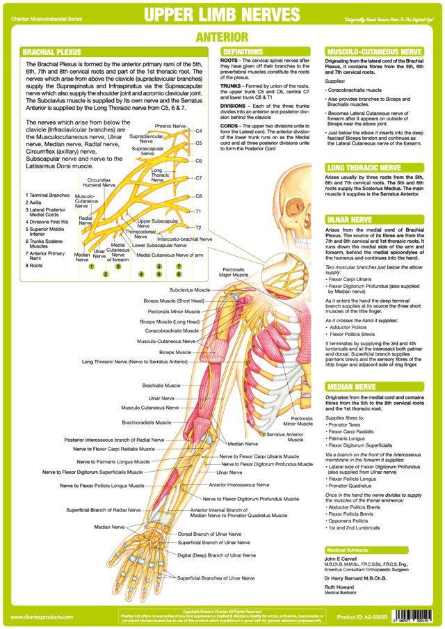 The Chartex Upper Limb Nervous System Chart Illustrates Explains