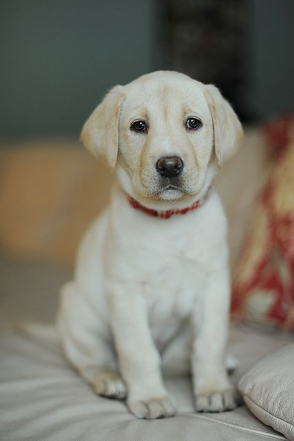 Taking puppy pictures labs labradors and pup for Dog house for labrador retriever