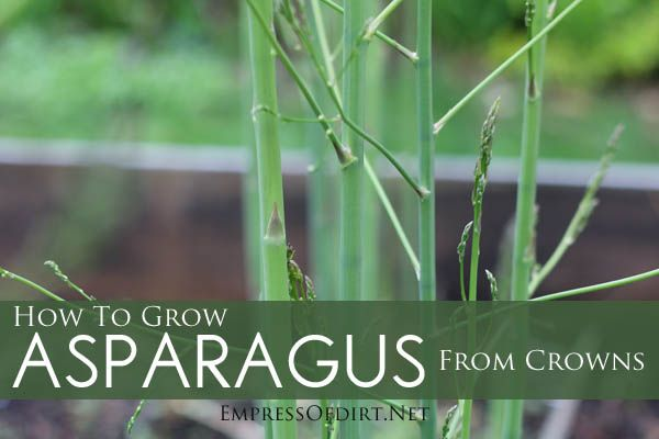 how to grow asparagus from crowns jardin potager. Black Bedroom Furniture Sets. Home Design Ideas