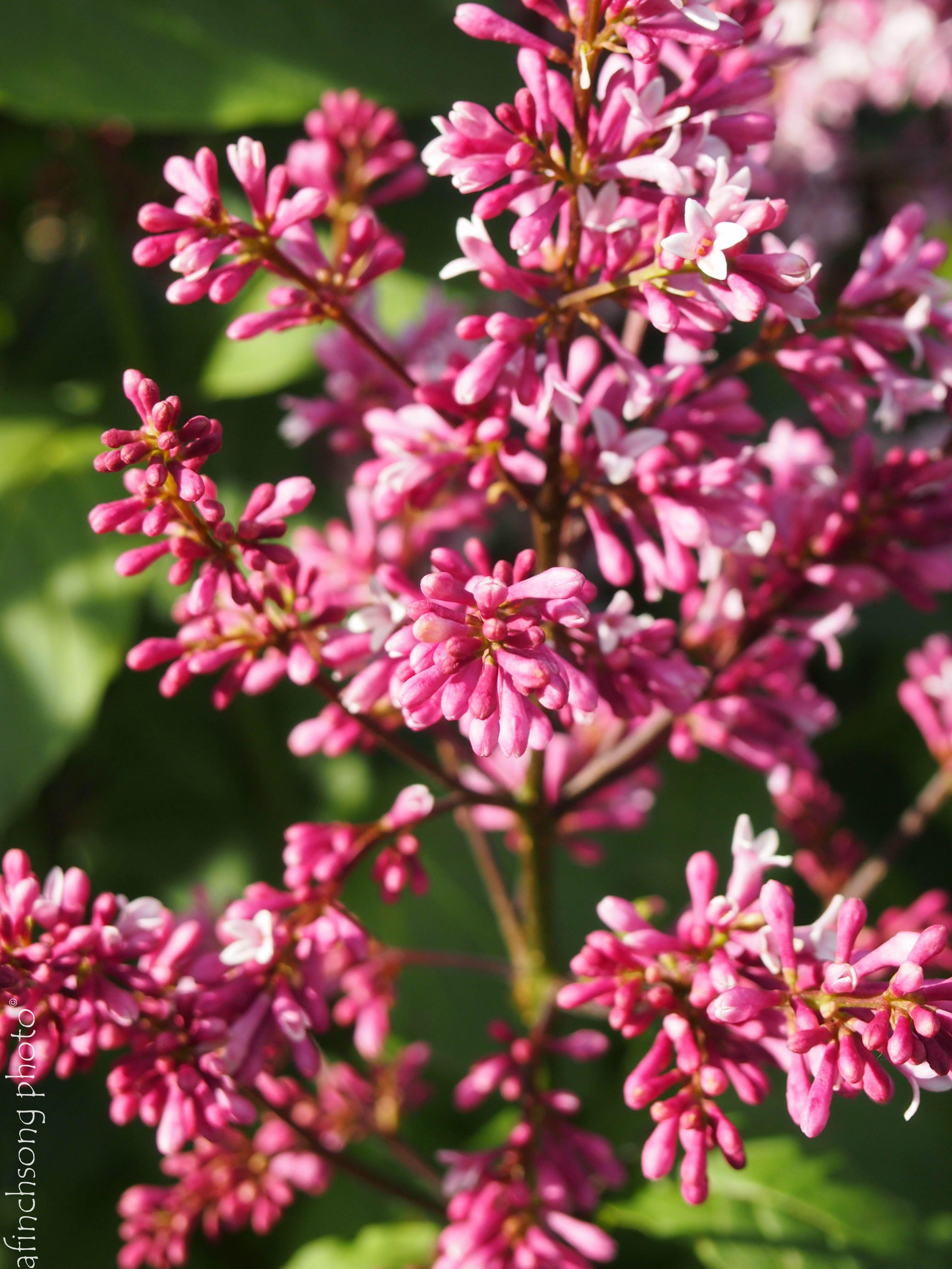 Syringa X Prestoniae 39 Redwine 39 Redwine Lilac Deciduous