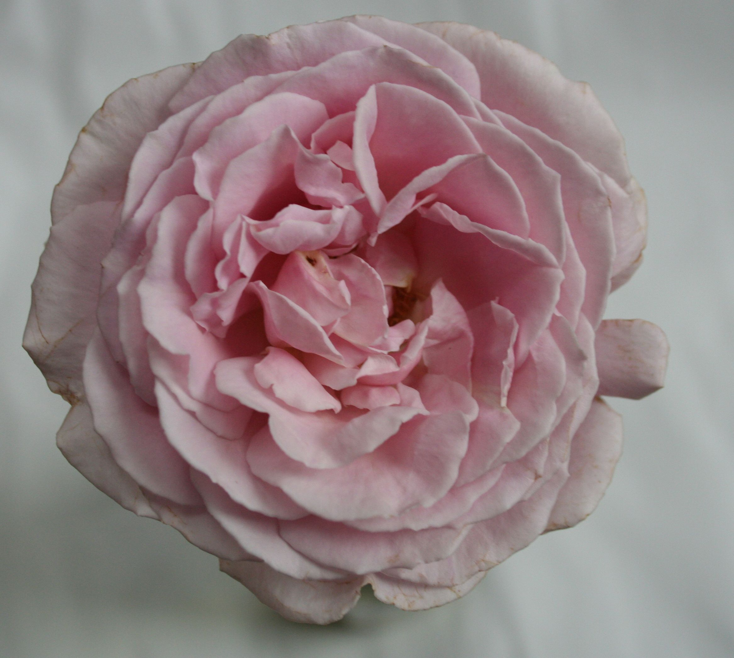 Frederick Mistrall. Order them online @ http://www.parfumflowercompany.com/