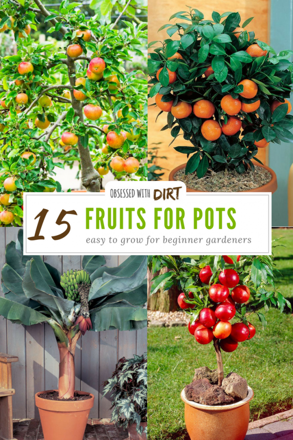 15 Container Gardening Fruit With Incredible Flavor Easy To Grow Fruit Trees In Containers Container Gardening Fruit Container Gardening