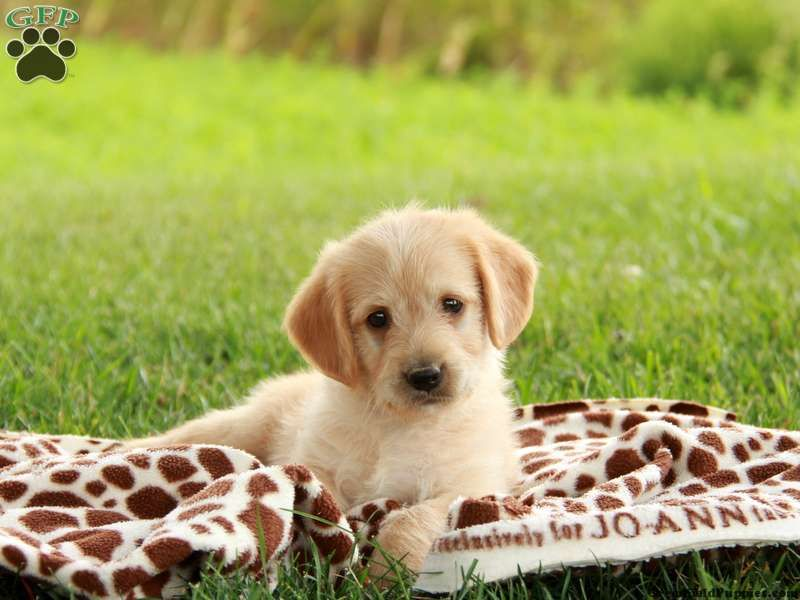 Hudley mini labradoodle puppy for sale in strasburg pa