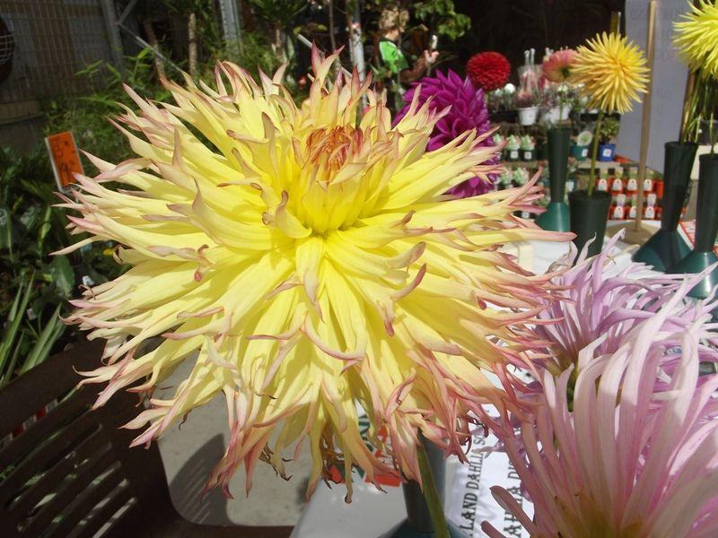 Fimbriated Dahlia Flower Festival Dahlia Growing Dahlias