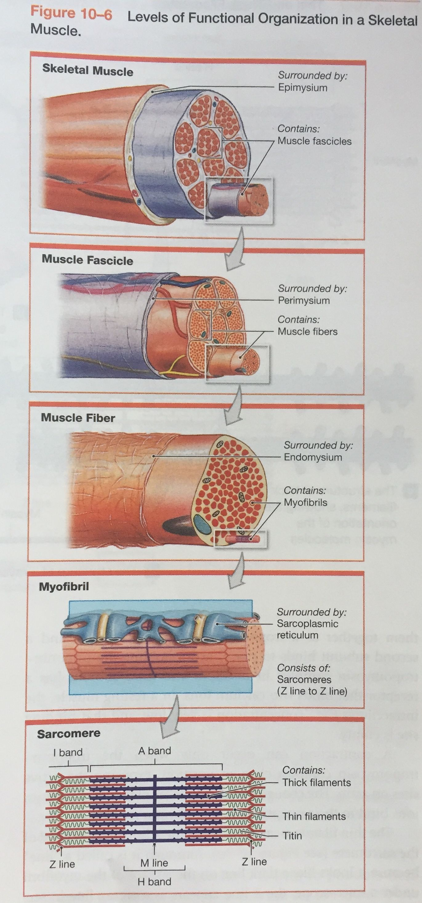 Levels Of Functional Organization In A Skeletal Muscle