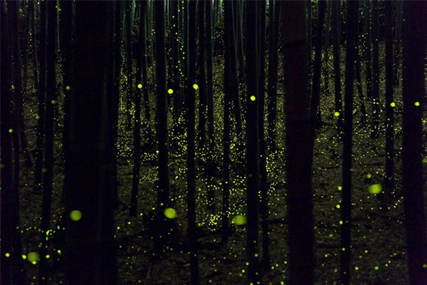 Stunning long exposure photographs of fireflies in forests near Maniwa, Okayama and Nagoya, Japan, by Yume Cyan.