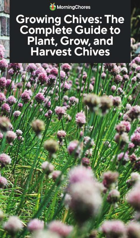 Growing Chives In Pots Is A Perfectly Tasty Way To Expand Your Indoor Or Outdoor Herb Garden No Matter How Much Space You Growing Chives Growing Garlic Chives