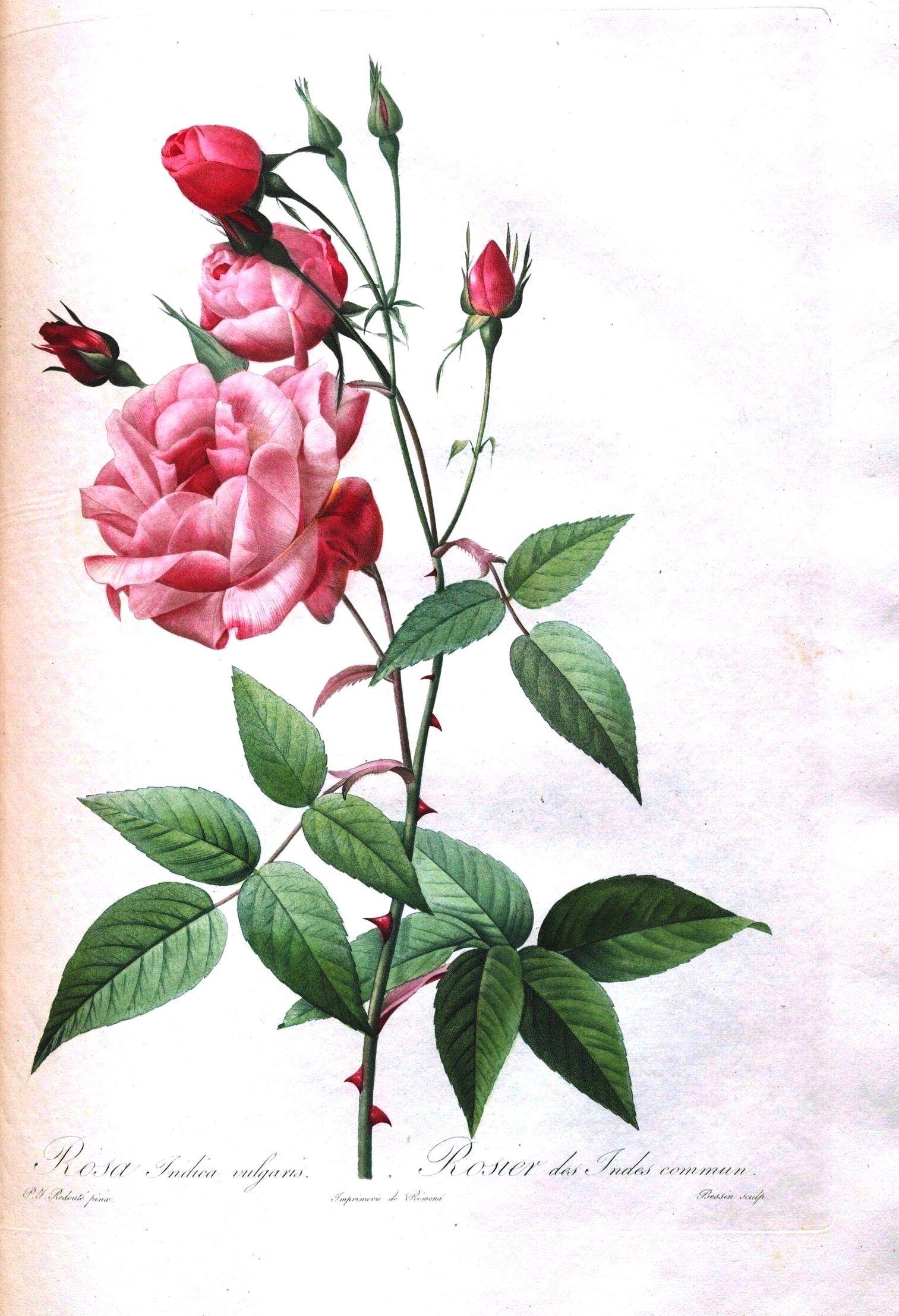 Botanical Flower Les Roses 11 Vintage Botanical