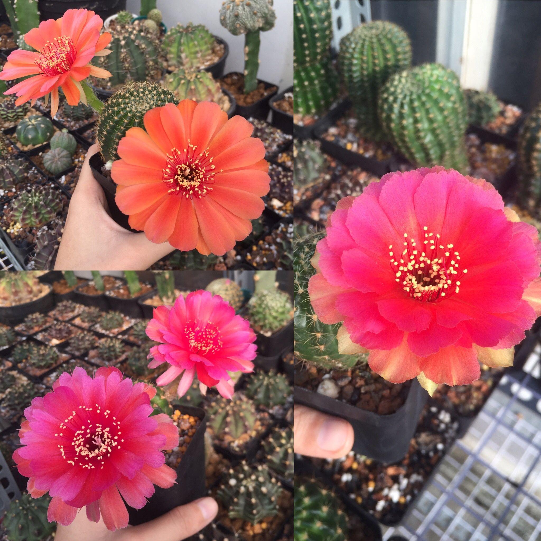 Lobi For Sales Cacti Cactii Cactus Succulove Succulents