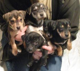 Adopt Lucky 7 On Dog Adoption Rottweiler Rescue Rottweiler Dog