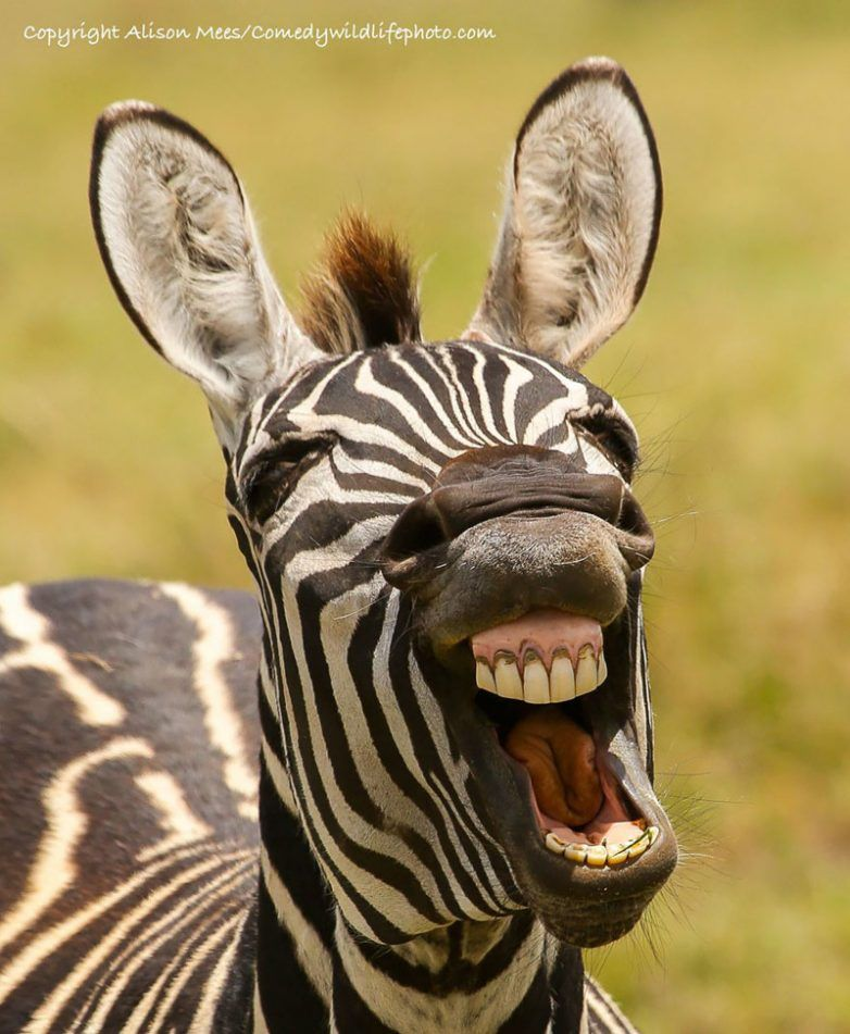 Самые смешные фото «Comedy Wildlife Photography Awards ...