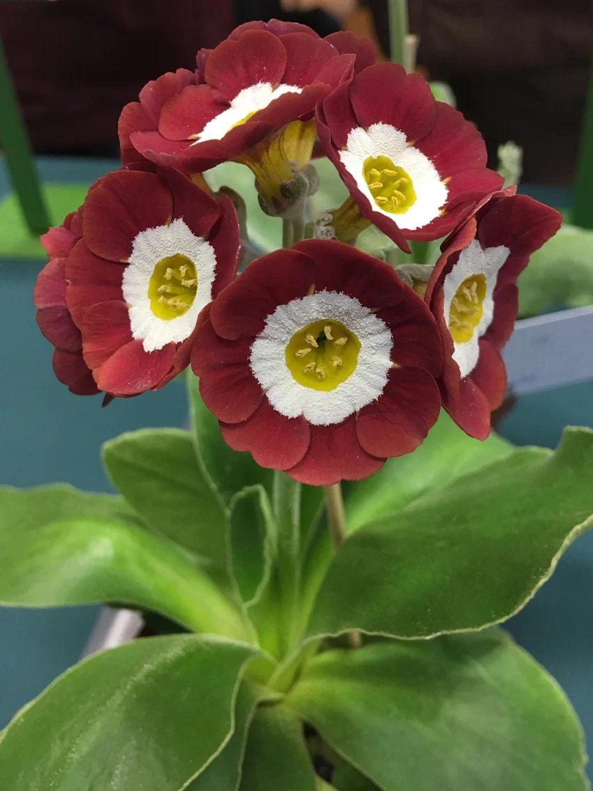 Self Auricula 'Strawberry Fields' in 2020   Primula ...