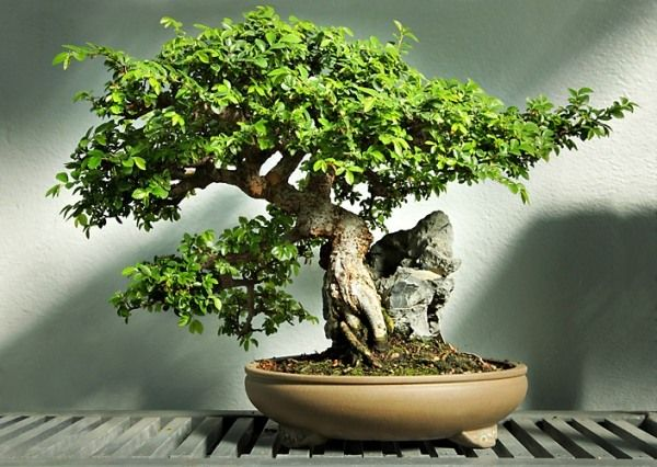 ulme bonsai baum pflege standort indoor garten ideen bonsai bonsai chinese elm bonsai. Black Bedroom Furniture Sets. Home Design Ideas