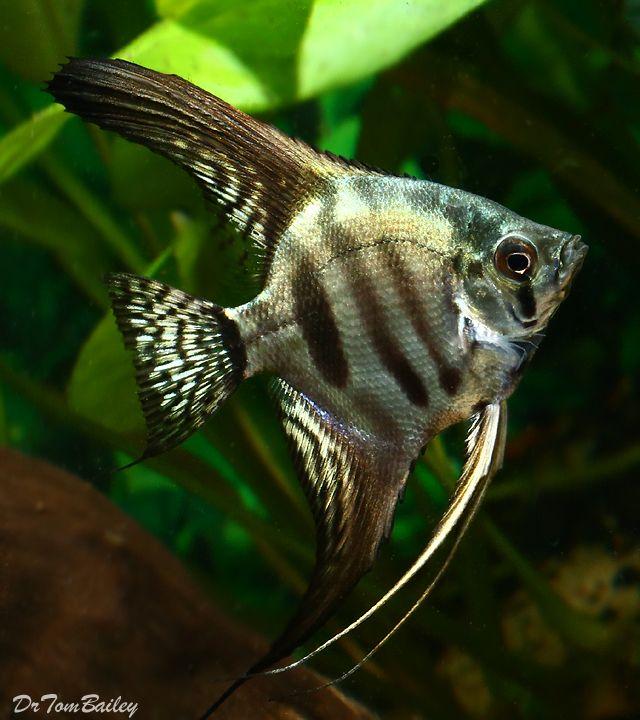 Zebra Angelfish Aquarium Fish Tropical Fish Angel Fish