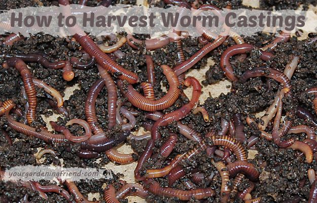 How To Harvest Worm Castings Your Gardening Friend