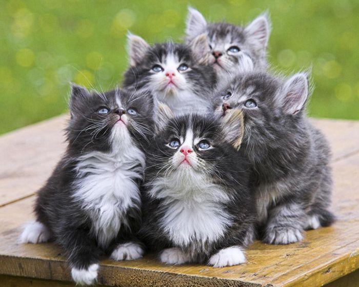 cute fluffy gray kittens