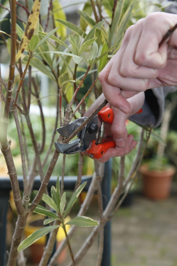 oleander richtig pflegen, Gartengerate ideen